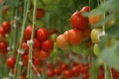 Don't burst the tomatoe