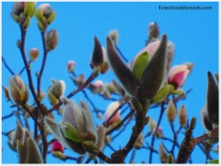 Magnolias striving to bud