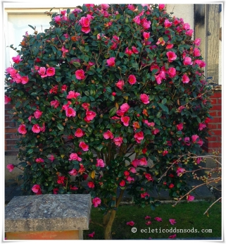 One front garden, a perfect pink bush.