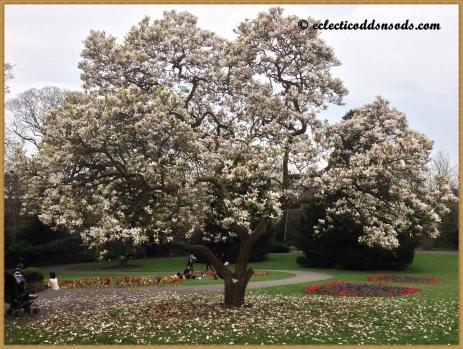 Stunning magnolia tree