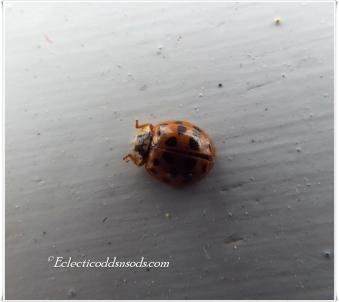 Teensy ladybug