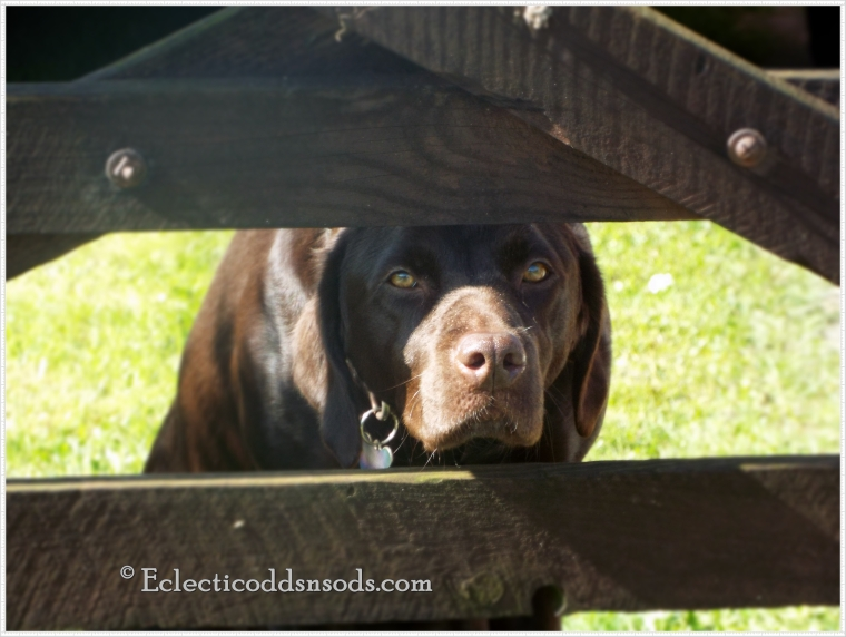 He looks at us walking our dog, ever hoping someone will take him out too!