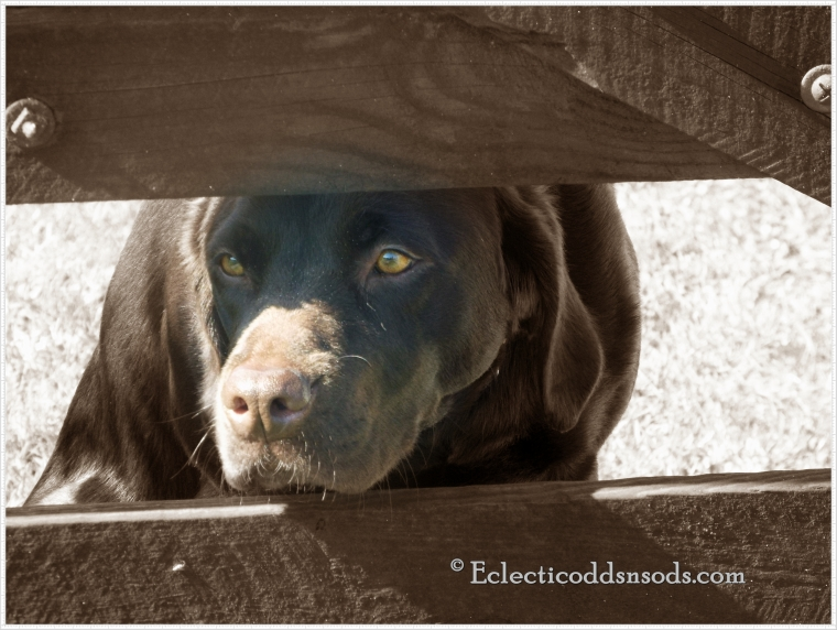 Beautiful sad eyes between the wooden slats of the gates betray his isolation