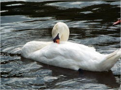 Serene swans snoozing