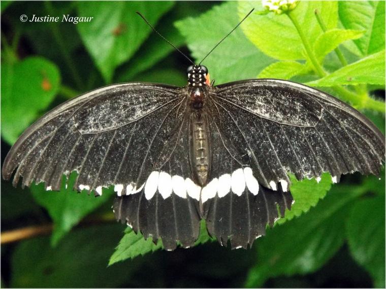 frayed butterfly