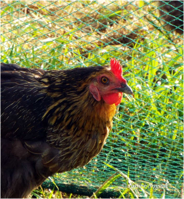 organic chicken & his comb