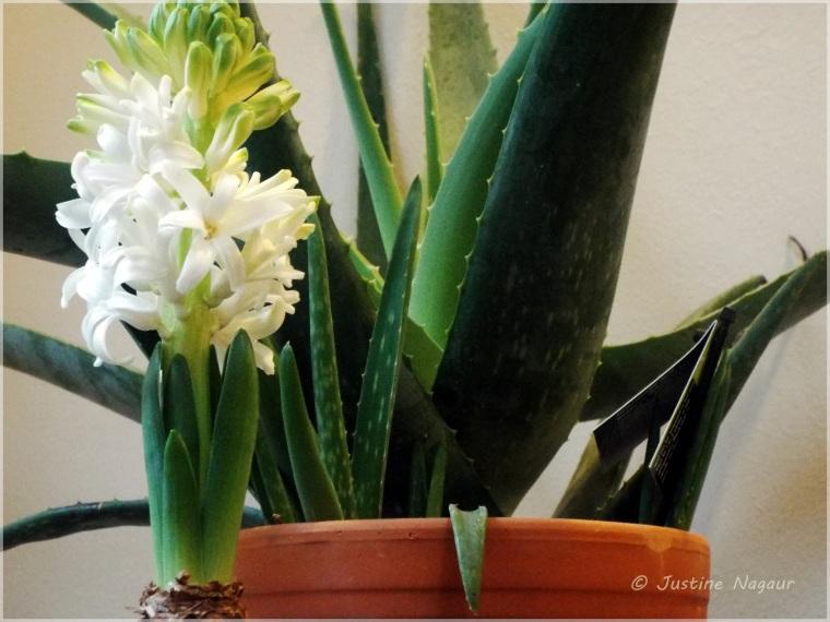 Narcissus versus Aloe Vera