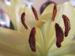 Macro Monday flower stamen (before)