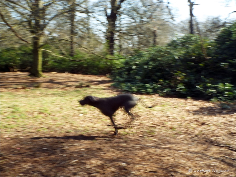 large dog running
