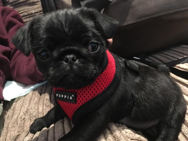 Archie our little black pug