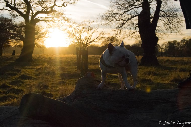 Richmond Park Frenchbulldog sunset